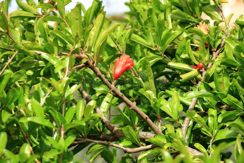 Red Punica granatum flowers on tree, pomegranate blossom in Crete in Greece. Red Punica granatum flowers on tree, pomegranate blossom, Greece, Crete stock images