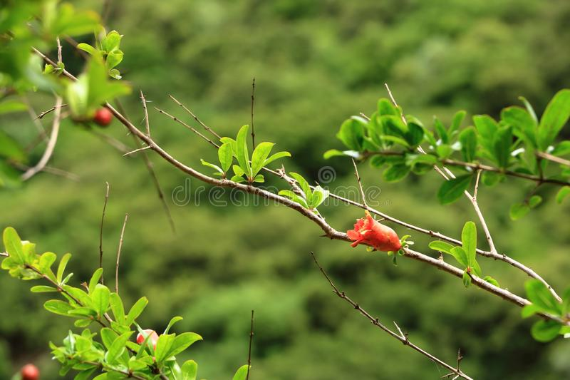 Red Punica granatum flowers on tree, pomegranate blossom in Crete in Greece. Red Punica granatum flowers on tree, pomegranate blossom, Greece, Crete stock photography