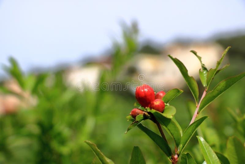 Red Punica granatum flowers on tree, pomegranate blossom in Crete in Greece. Red Punica granatum flowers on tree, pomegranate blossom, Greece, Crete stock image