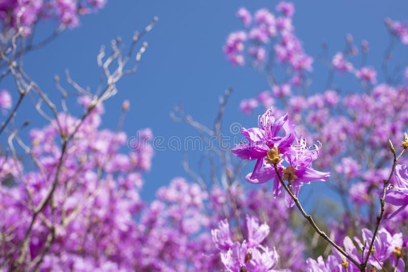 Red purple azalea in blur royalty free stock photography