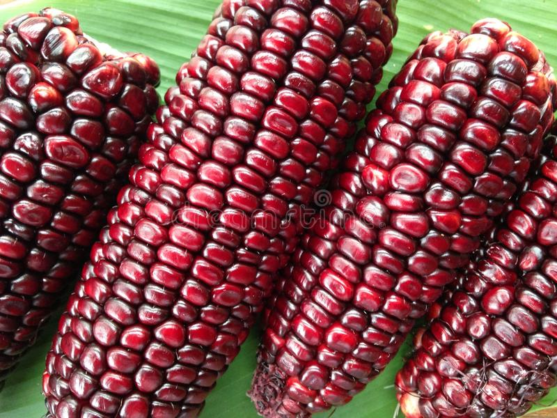Red purple corn stock image