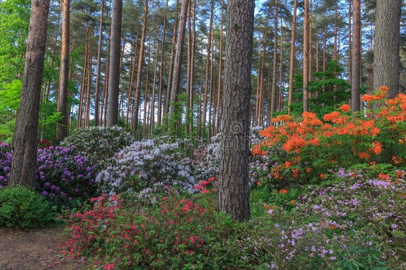 Red, purple and orange rhododendron, lush bloom in the nursery of rhododenrons. Latvia, Europe royalty free stock photo