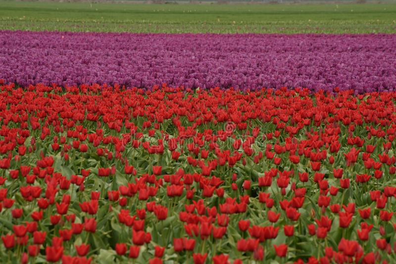 Tulips grow in a farm in West Friesland, Netherlands. royalty free stock photography