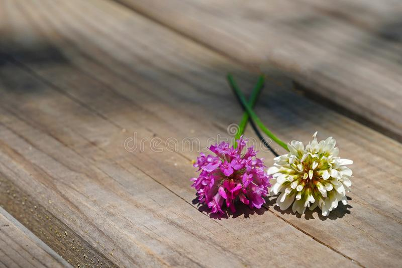 Red purple and white clover flowers together on brown wooden t. Able royalty free stock photography