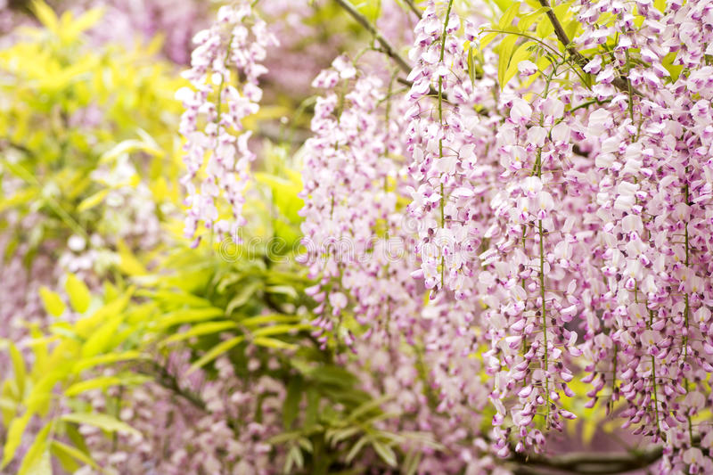 Red purple wisteria flowers royalty free stock photography