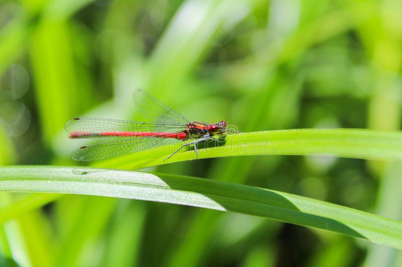 Red Pyrrhosoma nymphula on green grass leave front view royalty free stock images