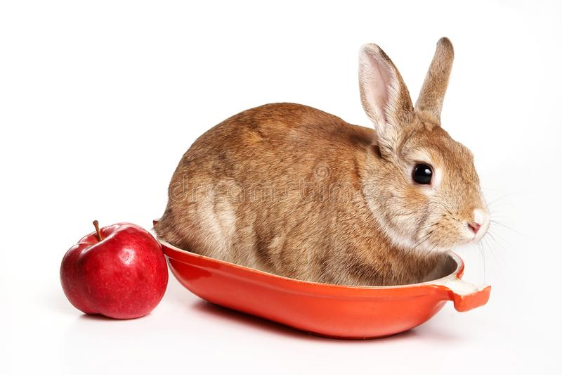 Red rabbit and apples on a tray royalty free stock image