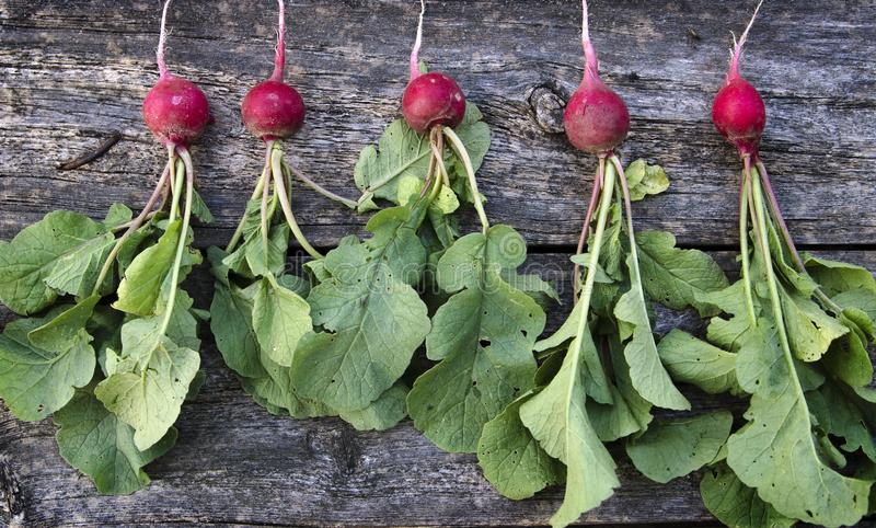 Red radish with green leaves royalty free stock images