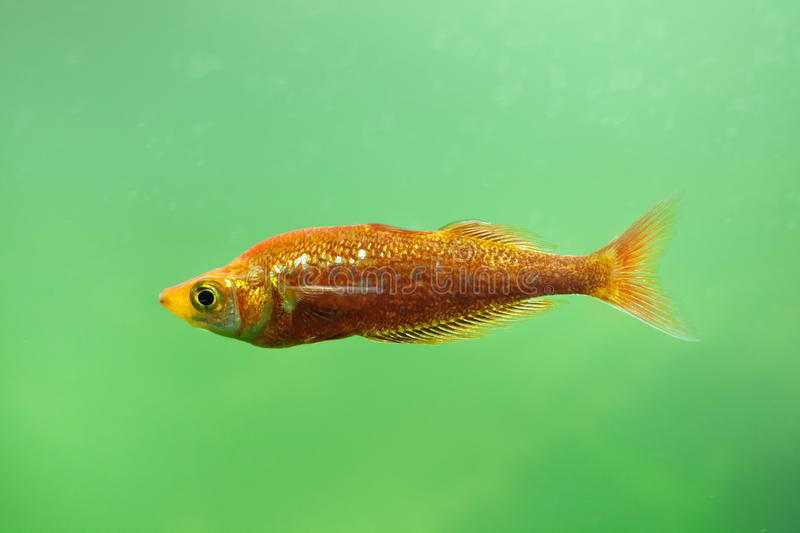 Red rainbowfish Glossolepis incisus. Also known as the salmon-red rainbowfish royalty free stock photos