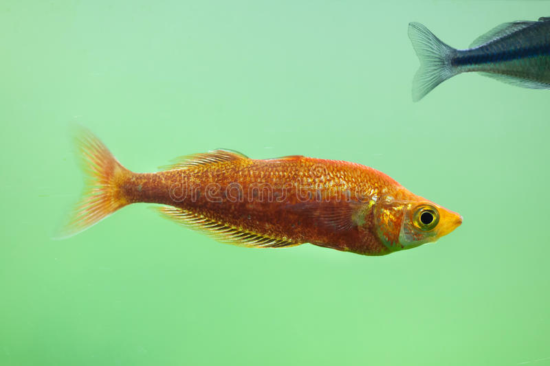 Red rainbowfish Glossolepis incisus. Also known as the salmon-red rainbowfish royalty free stock photography