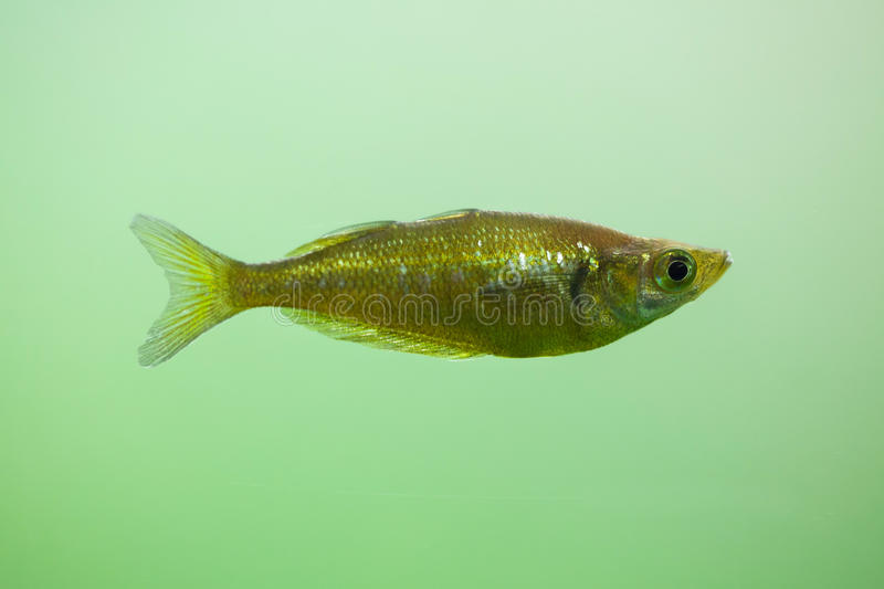 Red rainbowfish Glossolepis incisus. Also known as the salmon-red rainbowfish stock photography