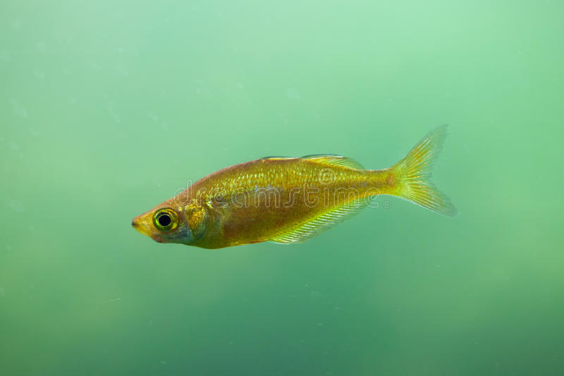 Red rainbowfish Glossolepis incisus. Also known as the salmon-red rainbowfish royalty free stock image