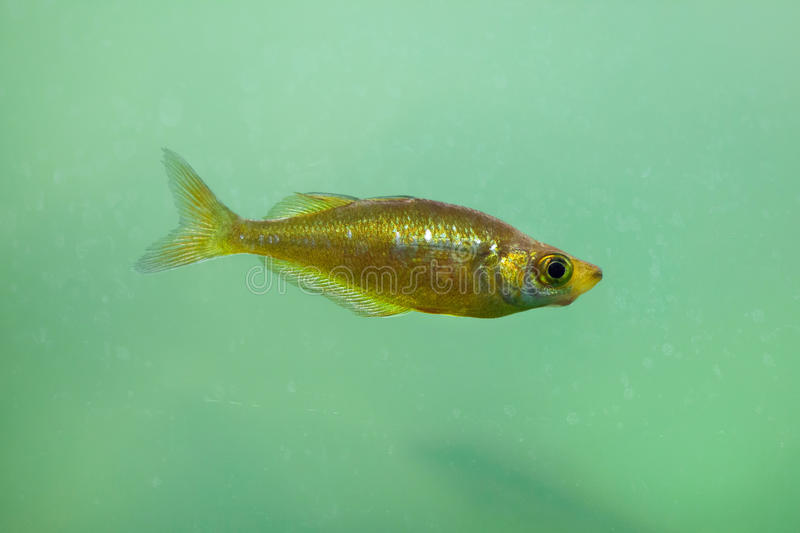 Red rainbowfish Glossolepis incisus. Also known as the salmon-red rainbowfish stock photo