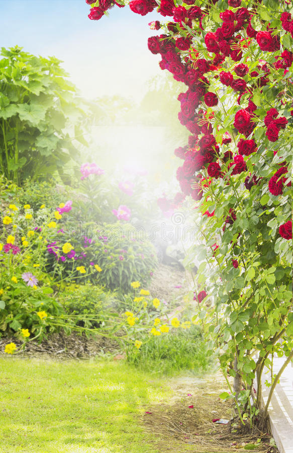 Red rambler rose in sunny garden. Outdoor royalty free stock image