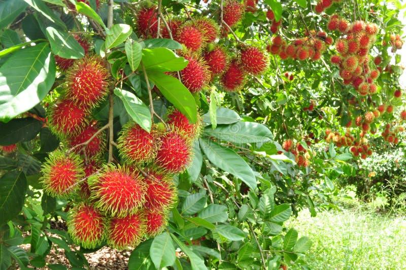 Red rambutan. A fresh red rambutan in thailand stock photography
