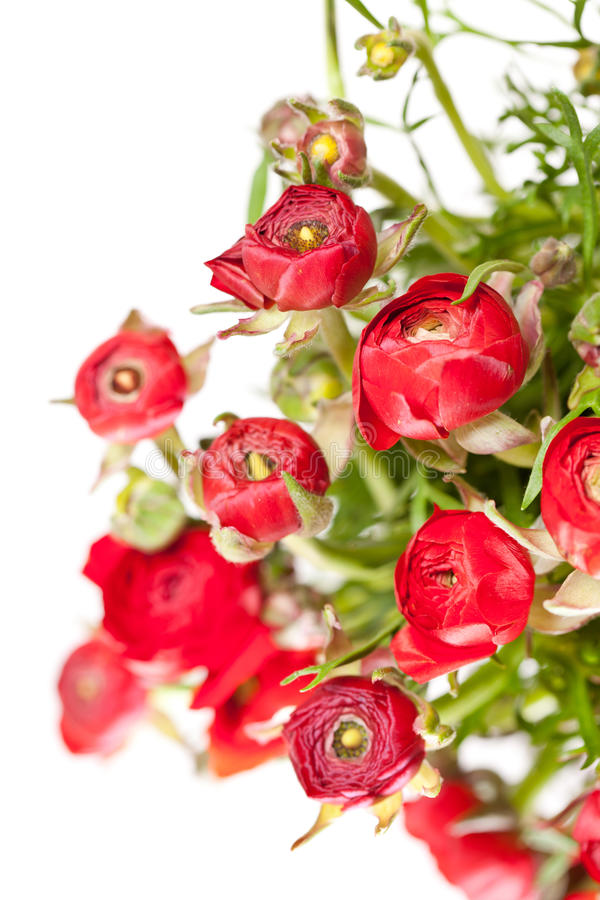 Download Red Ranunculus Stock Photo - Image: 23851300
