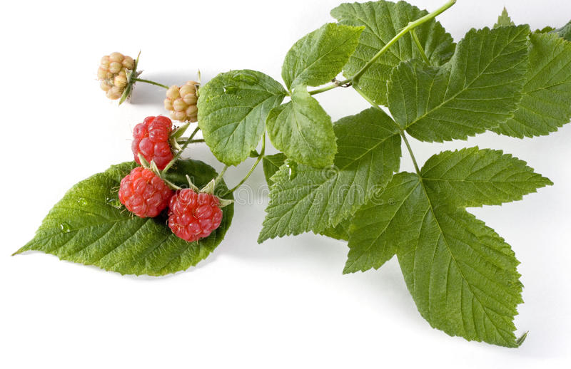 Red raspberries on the branch stock photos