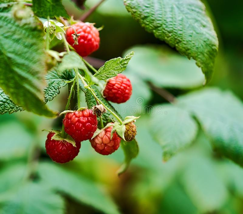 Red raspberries grow on a bush  landscape stock images