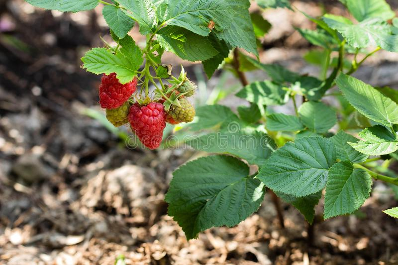 Red raspberry branch with berry grows in the garden royalty free stock photos