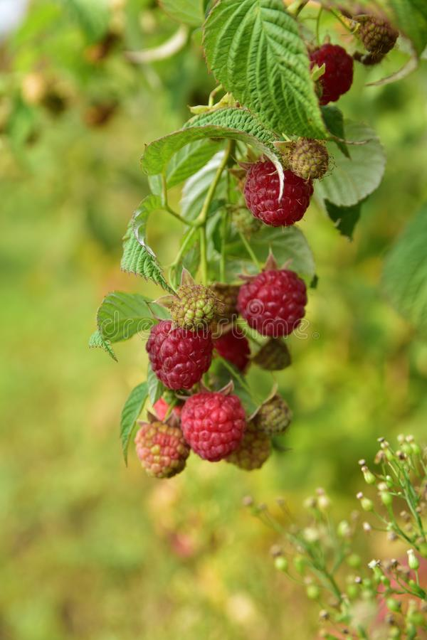 Red raspberry in the garden stock images