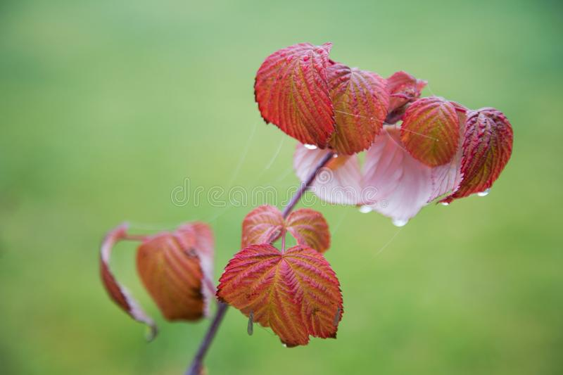 Red raspberry leaves with water drops on a blurred. Background royalty free stock images