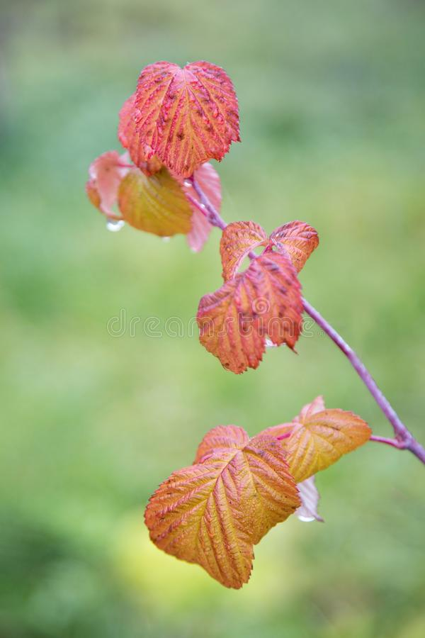 Red raspberry leaves with water drops on a blurred. Background royalty free stock photography