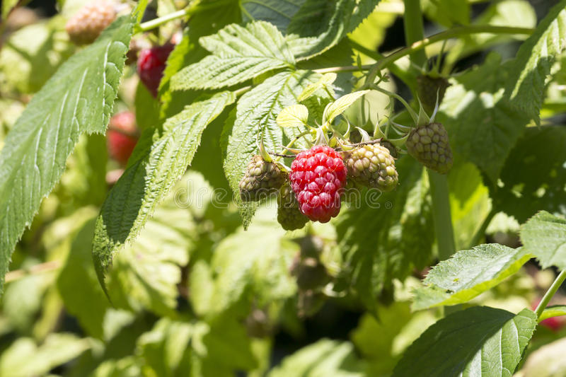 Red raspberry on plant varieties Tulameen. Close-up of red raspberry on plant varieties Tulameen stock images