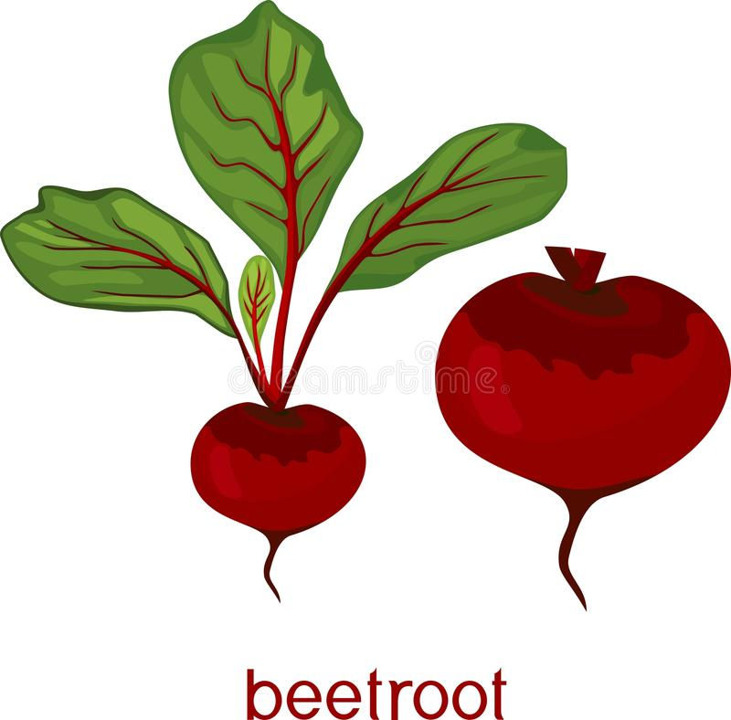 Red raw beetroot with green leaves and title on white background stock illustration