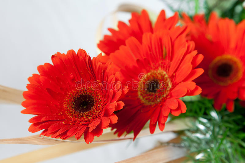 Red red daisy flowers. Beautiful Red red daisy flowers over white background royalty free stock photography