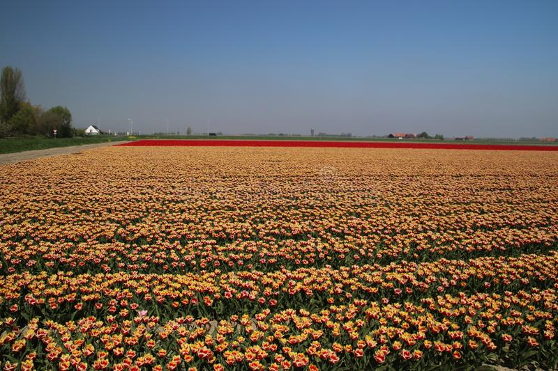 Red and red-yellow tulips in a row on a flower field in Oude-Tonge in the Netherlands.  royalty free stock image