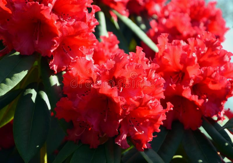 Red Rhododendron blooming, close-up in garden royalty free stock images