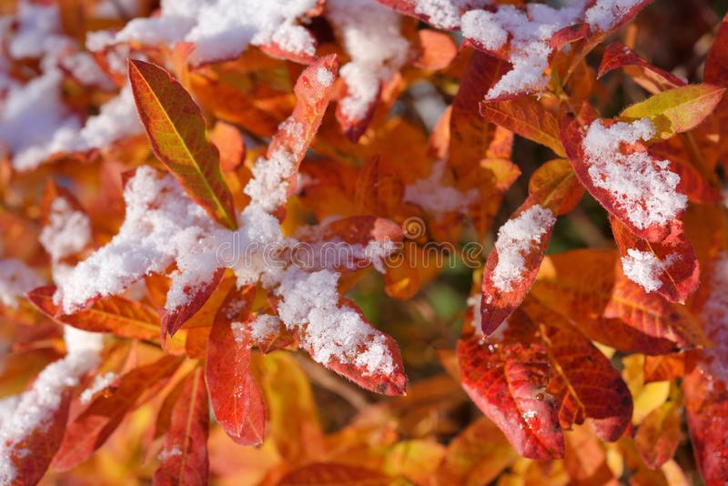 Red Rhododendron luteum azalea leaves in autumn with first snow. Early autumn snow royalty free stock image