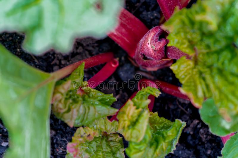 Red rhubarb plant crown growing in early spring, with green leaves and stalks. Edible vegetable garden plant with oxalic acid in royalty free stock photos
