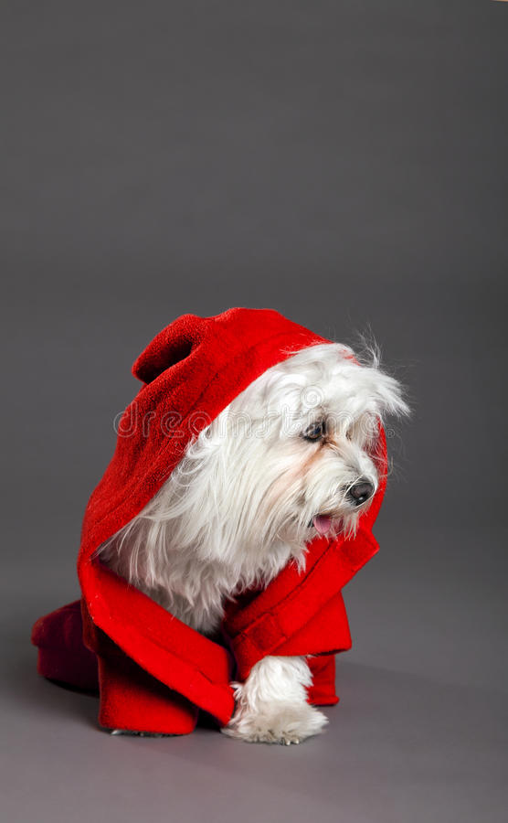 Red Riding Hood Maltese Dog Studio Portrait Royalty Free Stock Photo