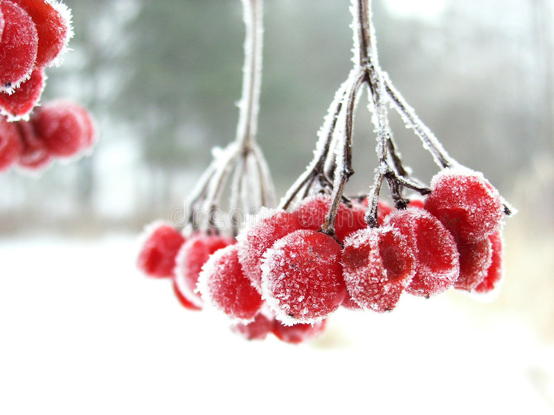 The red rimed berry. Red berry during the winter cold foggy morning covered by icicles royalty free stock photos