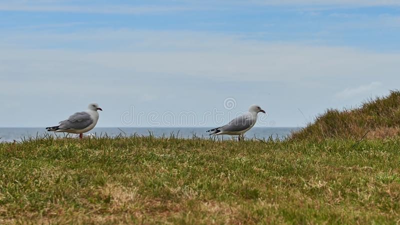 Red rimmed seagull with distinctive markings. Standing on the grass stock photos