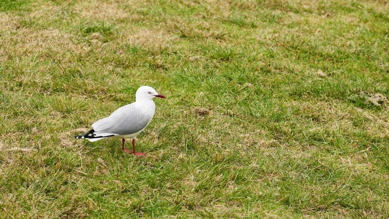 Red rimmed seagull with distinctive markings. Standing on the grass stock photo