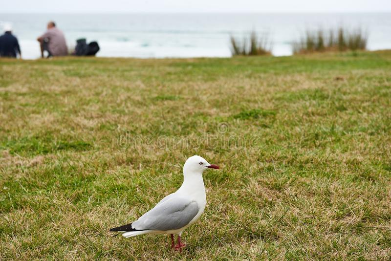Red rimmed seagull with distinctive markings. Standing on the grass royalty free stock images
