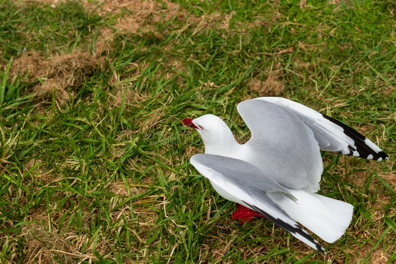 Red rimmed seagull on green grass. Flapping its wings royalty free stock photos