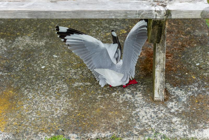 Red rimmed seagulls fighting for food scraps. Two Red rimmed seagulls fighting for food scraps stock images