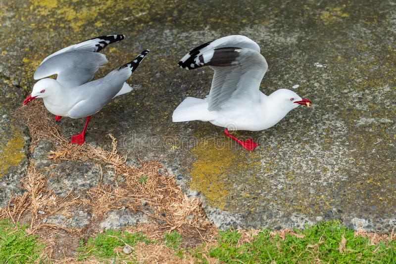 Red rimmed seagulls foraging for food scraps. Two Red rimmed seagulls foraging for food scraps royalty free stock photo