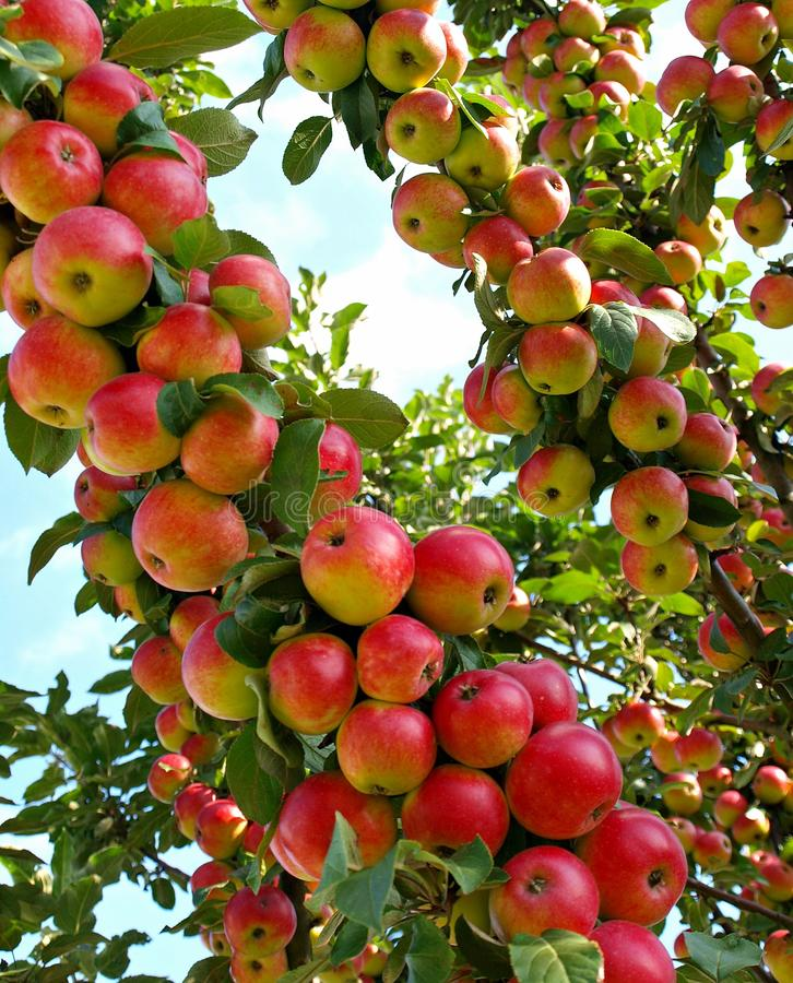 Red ripe apples. On the tree stock image