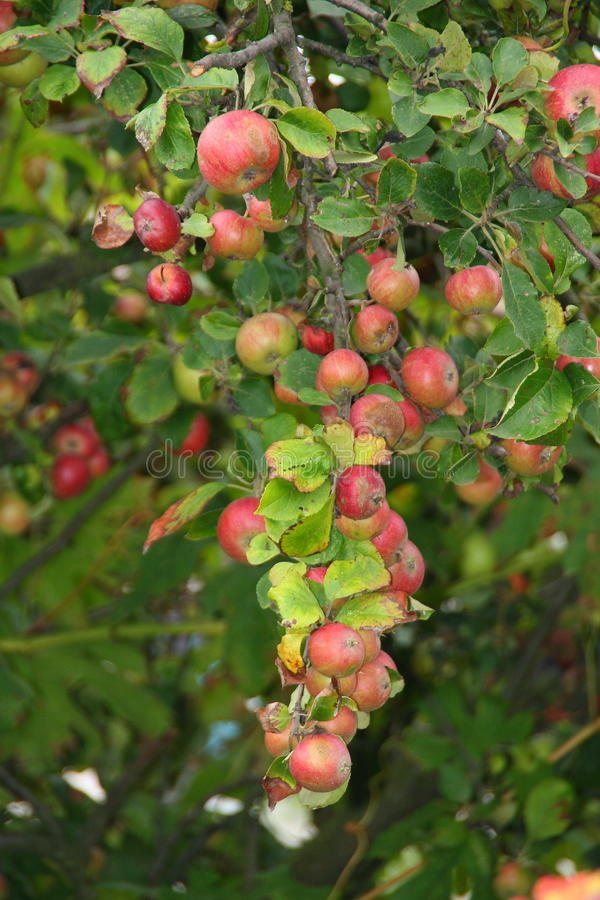 Red ripe apples. On apple tree branch royalty free stock photography