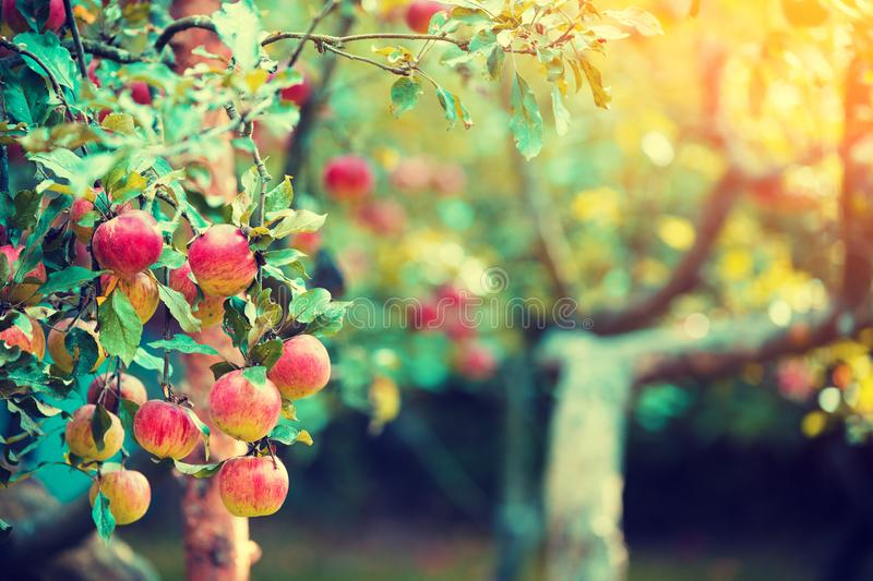 Red ripe apples on a branch of the apple tree stock photography