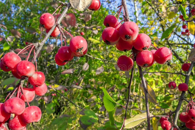 Red ripe apples on a branch of crabapple tree also known as plum-leaved or Chinese apple tree. stock photo