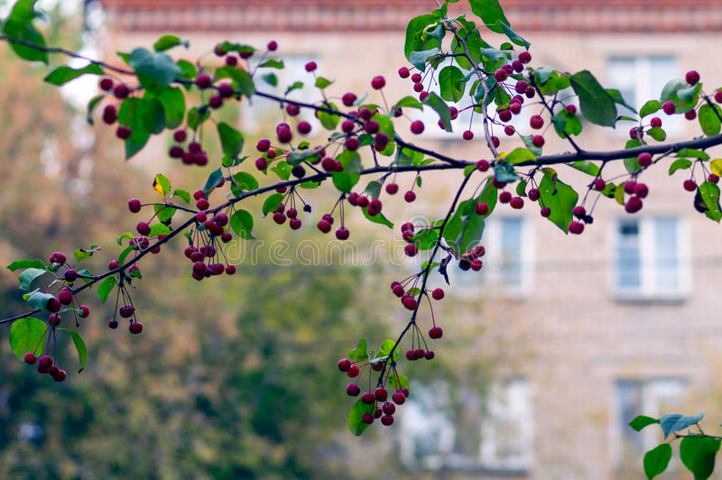 Red ripe apples on green branch: autmn in the city. Malus baccata var. sibirica royalty free stock photography