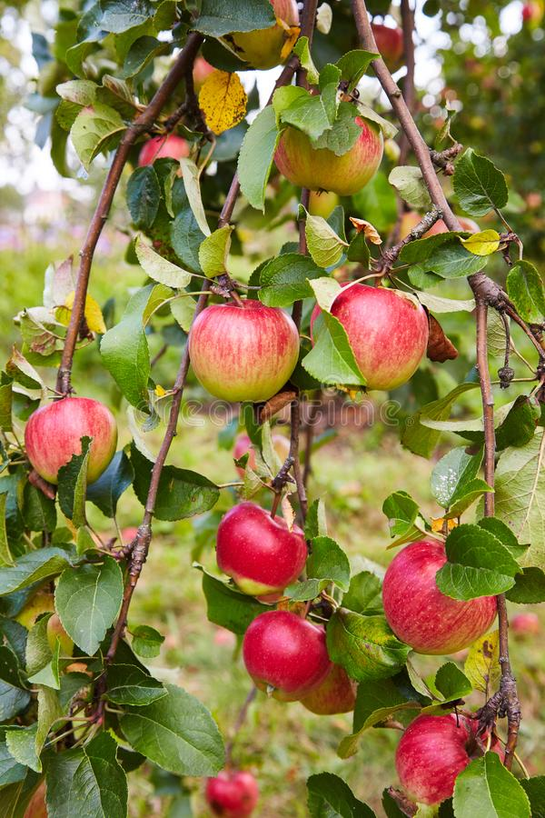 Red ripe apples growing in the garden royalty free stock images