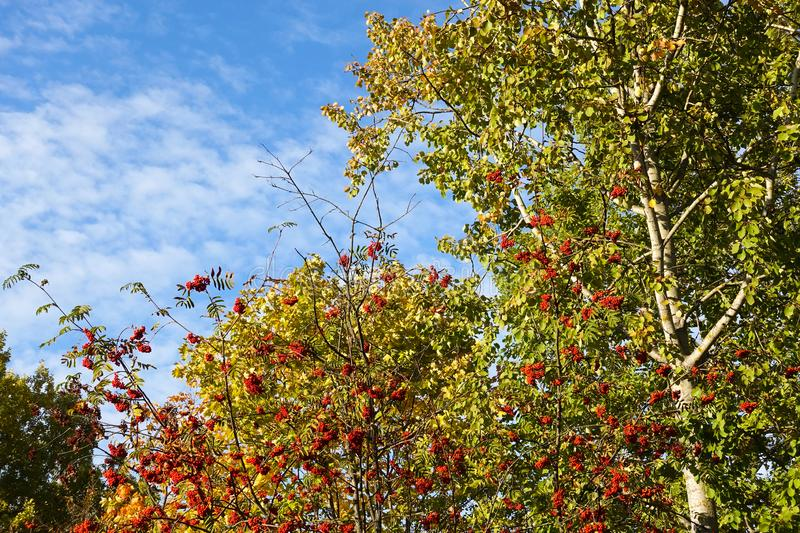 Red ripe berries of a medicinal plant of mountain ash on branches with yellow, green, orange leaves on a background of blue sky,. Autumn landscape stock photos