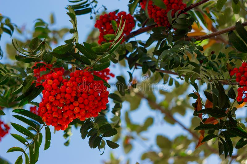 Red ripe bunch of rowan with green rowan leaves in autumn against blue sky. Autumnal colorful red rowan branch stock photo