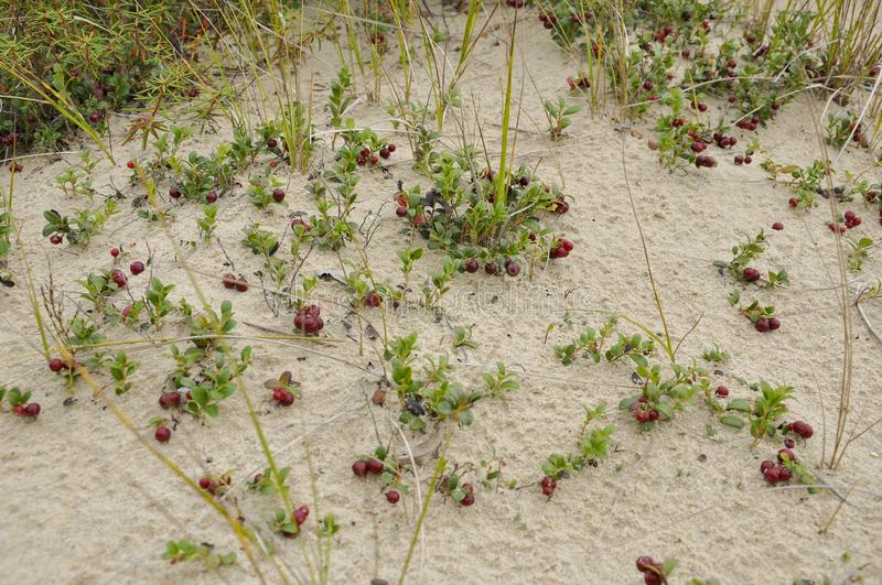 Red ripe cowberry grow on the sand in the green forest stock image